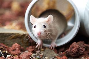 cream-rat-18505520.jpg