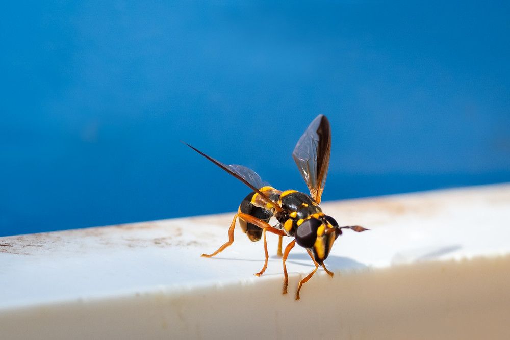Hover fly that looks like a hornet