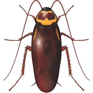 Australian cockroach - cockroach pest control