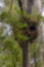 Termite nest in tree - Bird nest