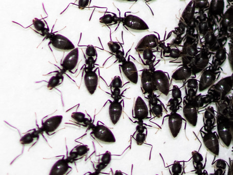 Ant Problems Can Be A Big Problem In Brisbane