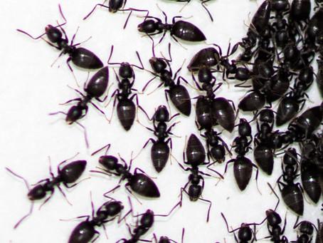 Ant Problems Can Be A Big Problem In Brisbane
