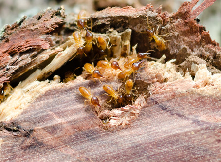 Found Termites in the Garden!?