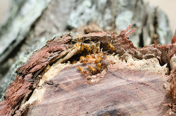 Termites in Garden Log.JPG