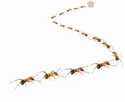 black ant pest control