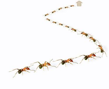 Black ant problems