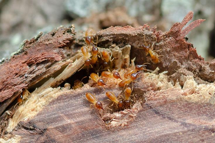 Termite attack in log in garden