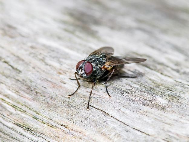 Fly pest control Brisbane