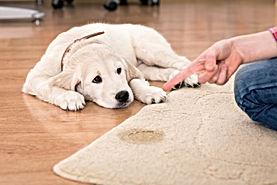 Pet Urine of Carpet - Carpet Cleaning