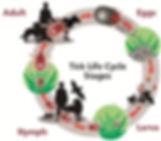 Ticks Life cycle