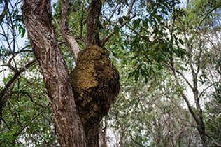 Termite nest in tree