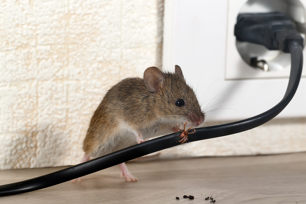Rodent Problems Pest Control Brisbane