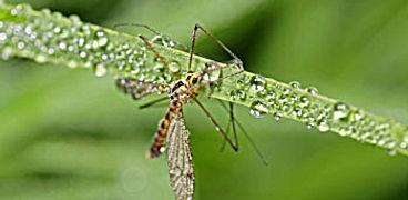 Mosquito-pest control