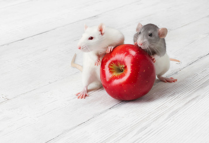 white-rats-with-red-apple-30532752.jpg