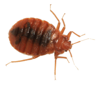 Bed bug close up - Results Termite Treatments and Pest Management Services