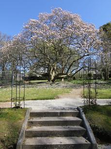 Ancient magnolia of Holman Park