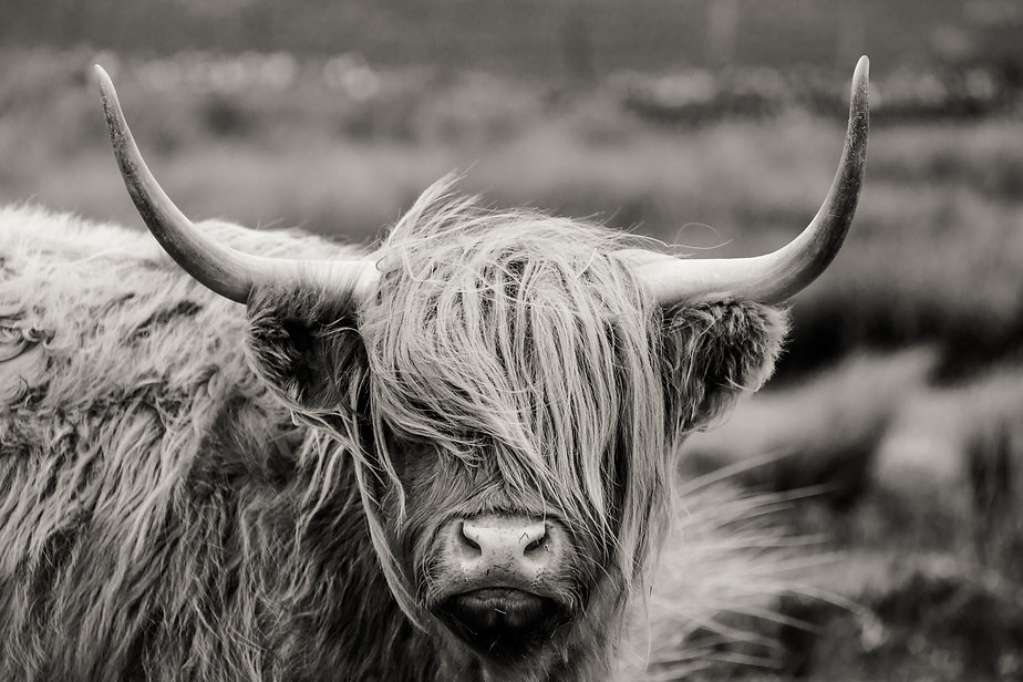 Scottish Highland cattle.jpg