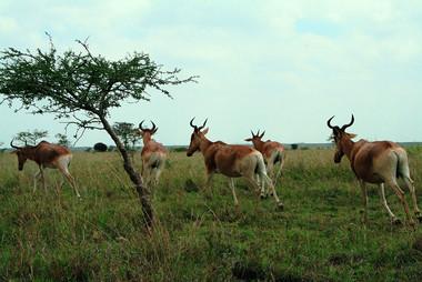 Hartebeest Nairobi National Park.jpg