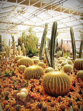 botanical-cactus-plant-cactuses-216617 -