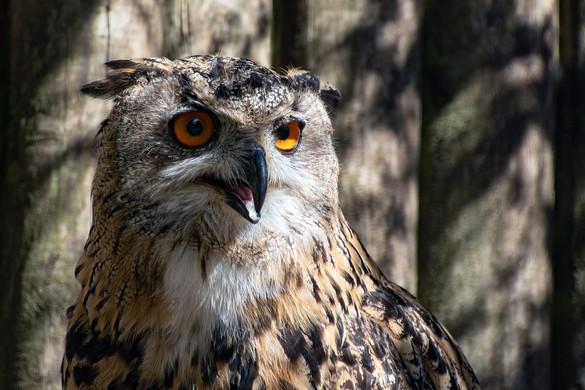 eagle-owl-5742304_1920 - Champlain Tours