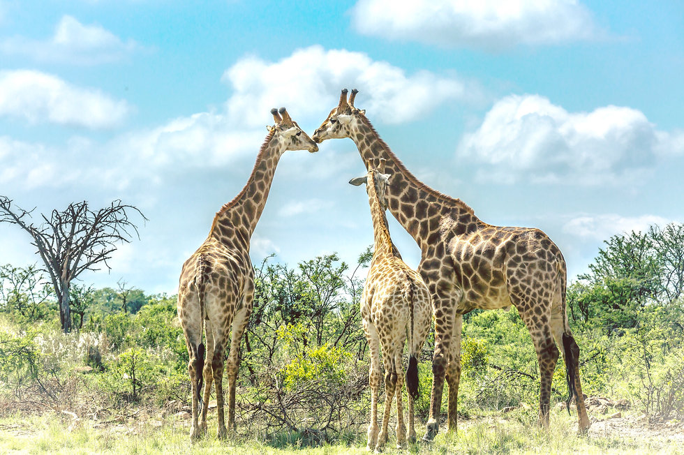 giraffe-family-nominated_t20_ne1RNA.jpg