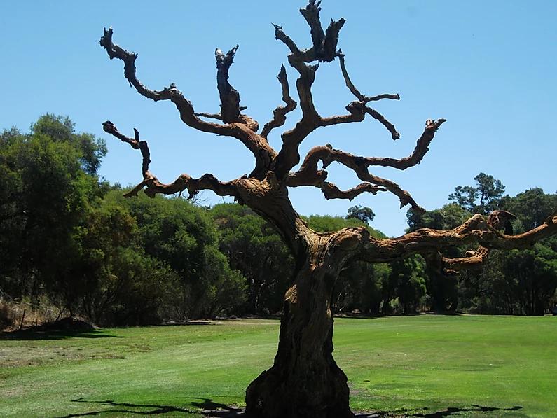 Marri Park Tree.webp