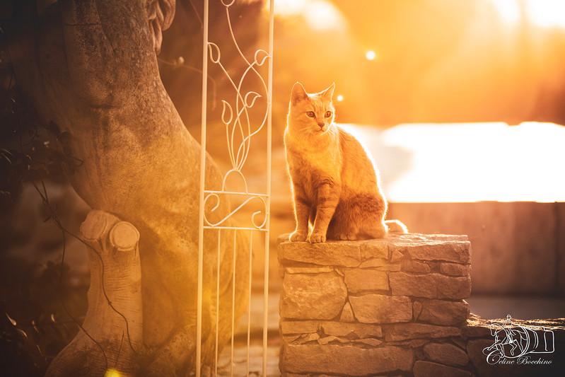 Chat en exterieur au couché du soleil