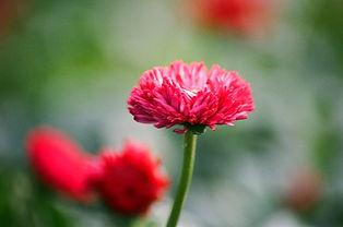 Crisantemo de primer plano
