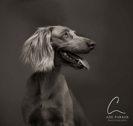 A longhaired Weimaraner bitch shot on location in Canvey Island, Essex