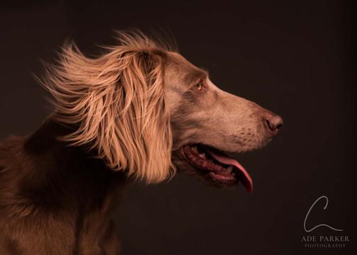 Long Haired Weimaraner