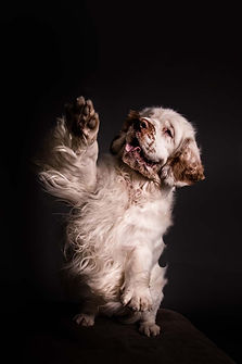 A rare Clumber Spaniel dog, from a portrait sssion in Benfleet, Essex