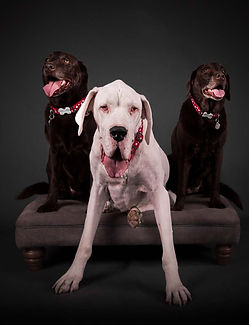 A blind and disabled rescue Great Dan  dog along with two chocolte labradors, shot in Essex