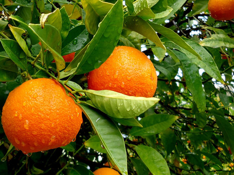 Orange Tree in the Orchard