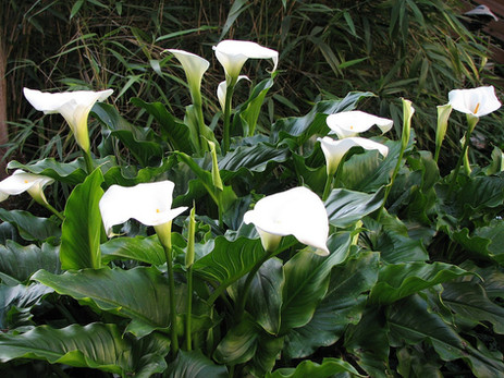 Calla Lillies by the Pond