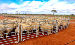 Senturion-Steel-Supplies-SS-Sheep-Yards