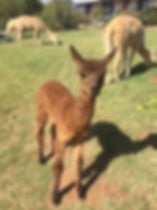Mioshi Park Alpacas - Crias 2016 - Cayli