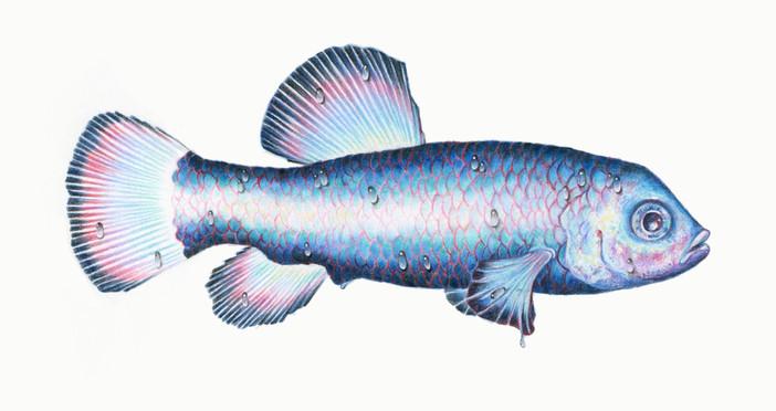 pupfish.jpg