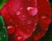 Crimson Dew.jpg