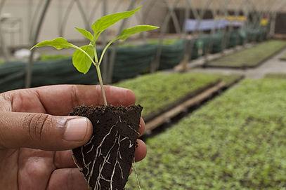 Полив растений гуматом