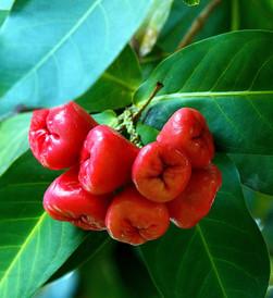 Pomme Malacca.jpg