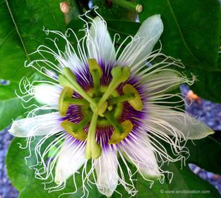 Anoli Location_Fleur fruit de la passion