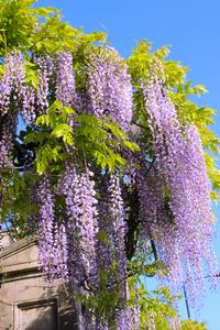 Wisteria floribunda 'Royal Purple' (Japanese wisteria)