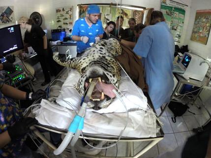 Onças pintadas do Zoo de Piracicaba passaram por um check up!