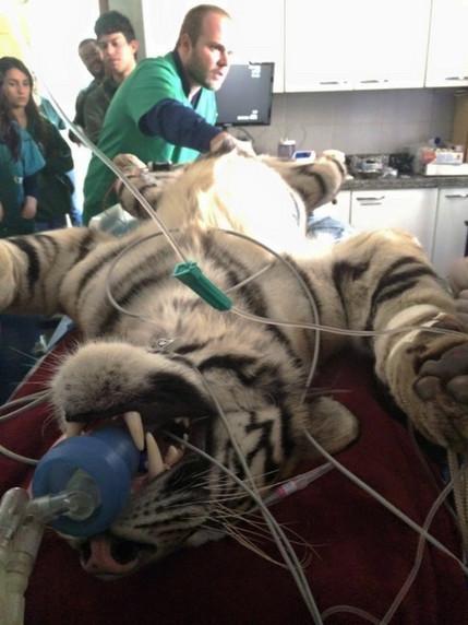 Tigresa passa por exame médico no zoológico de Itatiba