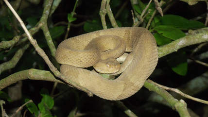 These Conservationists Are Desperate to Defrost Snake Sperm