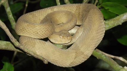 Tráfico internacional de animais silvestres: a jararaca ilhoa
