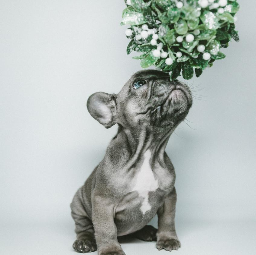 puppies, mistletoe and Christmas