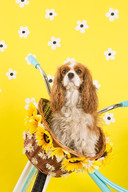 Daisies and cavaliers