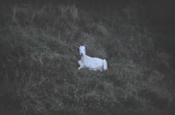 Ghostly Goat