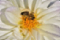 AS photo abeille LdD6.jpg